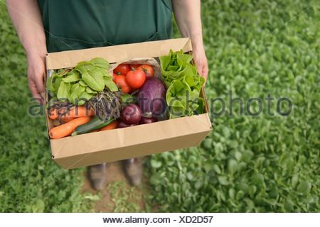 Farmer carrying organic vegetables in box for delivery, close up - Stock Photo
