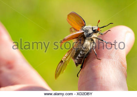 common cockchafer, maybug (Melolontha melolontha), starting from sitting on a finger, Germany, Bavaria - Stock Photo