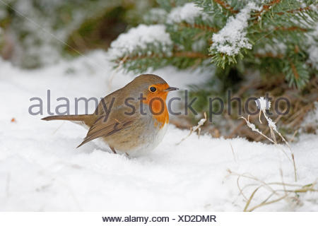 European robin (Erithacus rubecula), in snow, Germany - Stock Photo
