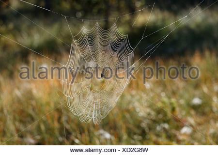 European Garden Spider or Cross Orbweaver (Araneus diadematus) in a web, Steingaden, Pfaffenwinkel region, Upper Bavaria - Stock Photo