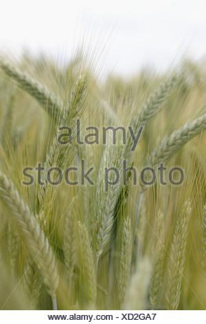 Wheat, close up - Stock Photo