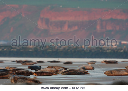 gray seal (Halichoerus grypus), colony with steep coast in the background, Germany, Heligoland - Stock Photo
