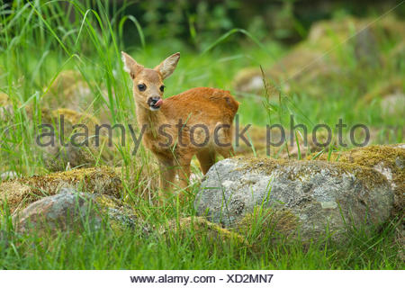 roe deer (Capreolus capreolus), fawn standing in a meadow among mossy stones, Sweden - Stock Photo