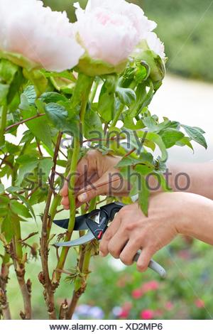 Gardener cutting flowers, Pruning secateurs, Hand tool, Garden, Roses. - Stock Photo