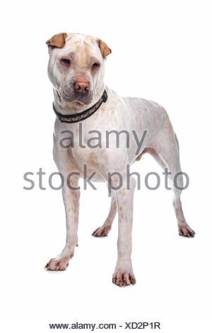 shar pei - Stock Photo