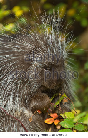 Porcupine (Erethizon dorsatum) nibbles on wild Rose hips in autumn, Montana, USA - Stock Photo