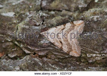 Treble-bar, St. John's Wort Inchworm (Aplocera spec., Anaitis spec.), well camouflaged on bark, Germany - Stock Photo