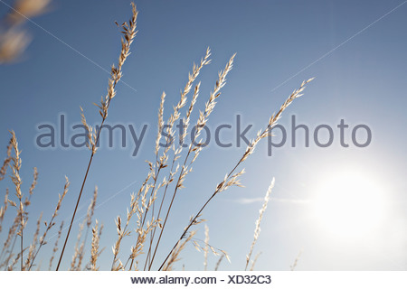 Wheat stalks against blue sky - Stock Photo