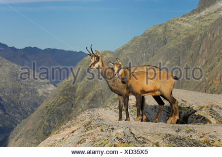 Adult and young chamois (Rupicapra rupicapra) standing on a ledge, Grimsel, Bern, Switzerland - Stock Photo