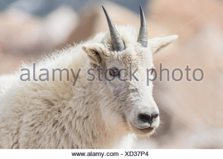 Portrait of a yearling mountain goat. - Stock Photo