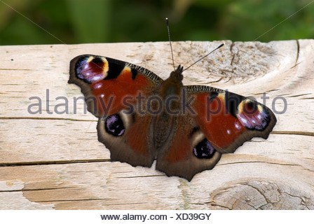 Peacock Butterfly Inachis io UK - Stock Photo