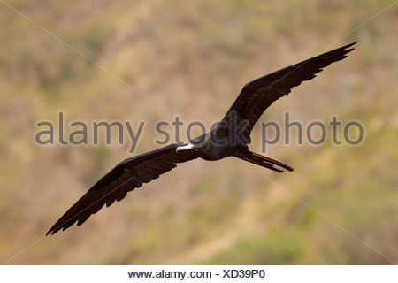Magnificent Frigatebird (Fregata magnificens) flying and searching for food along the coast of Ecuador. - Stock Photo