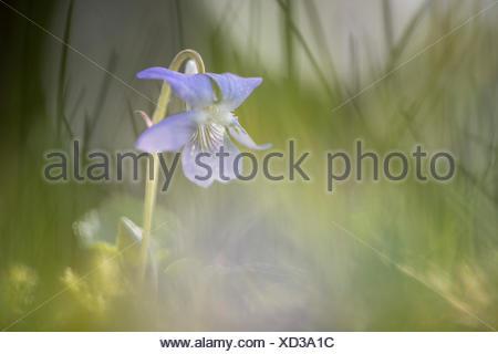 Heath dog-violet (Viola canina), Emsland, Lower Saxony, Germany - Stock Photo