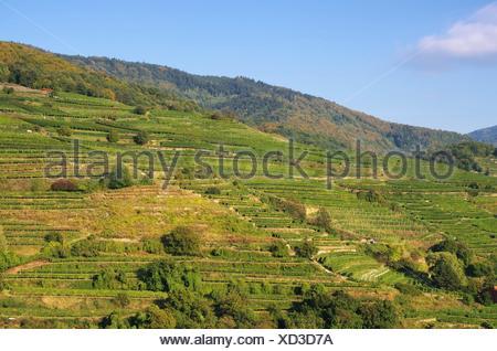 Wachau Weinberg - Wachau vineyard 20 - Stock Photo