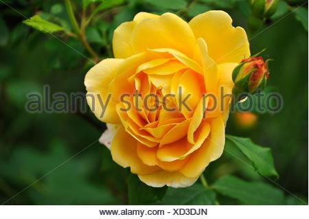 Yellow rose flower with bud (Rosa), Othenstorf, Mecklenburg-Western Pomerania - Stock Photo