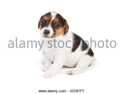 Jack Russell terrier puppy - Stock Photo