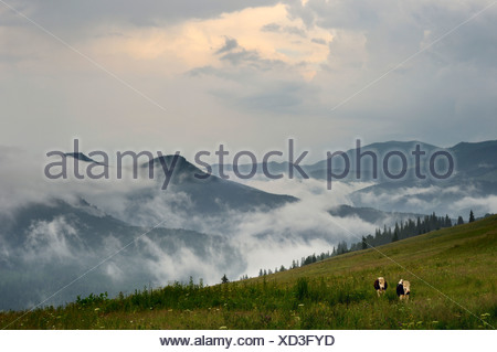 two cows on meadow in front of dzembronya landscape in ukraine - Stock Photo