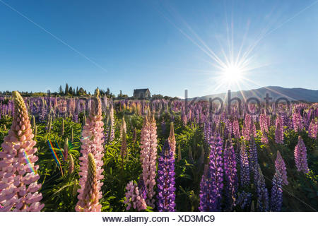Sun shining through purple Large-leaved lupines (Lupinus polyphyllus), sunstern, Church of the Good Shepherd, Lake Tekapo - Stock Photo