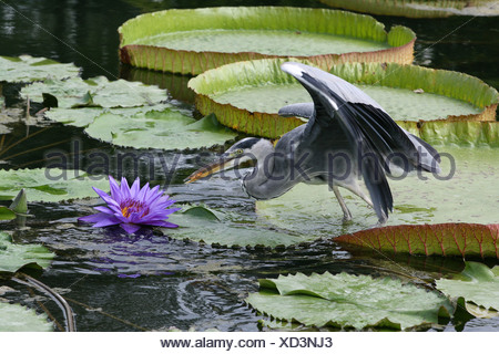 grey heron (Ardea cinerea), szanding on a water lily catching goldfishes from a garden pond, Germany - Stock Photo