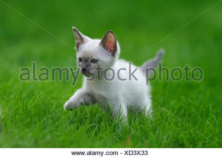 Siam Seal Point cat (Felis silvestris f. catus), kitty in a meadow - Stock Photo
