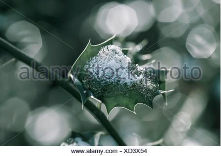 Single Holly, Ilex aquifolium leaf with melting snow against a dappled background. - Stock Photo