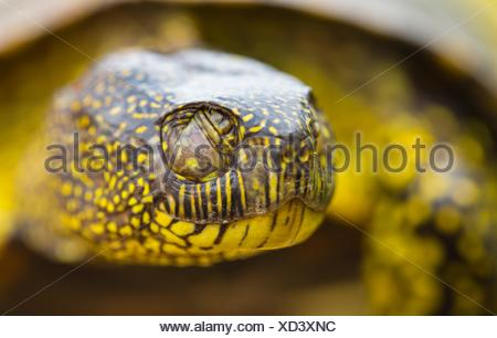European pond turtle (also called the European pond terrapin), (Emys orbicularis), Campanarios de Azaba Biological Reserve, Salamanca, Castilla y - Stock Photo
