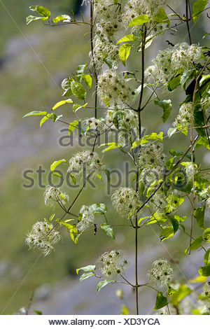 Spain, Asturias, Clematis vitalba (Old Man's Beard) - Stock Photo