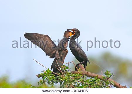 double-crested cormorant (Phalacrocorax auritus), adult bird feeds juvenile bird, USA, Florida, Venice - Stock Photo