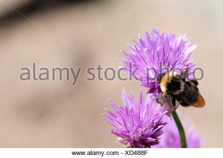 bees, leek, chives, chive, insect, bee, macro, close-up, macro admission, close - Stock Photo