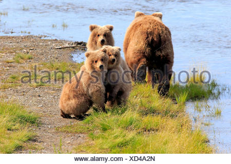 Grizzly Bear (Ursus arctos horribilis) mother with cubs at the water, Brooks River, Katmai National Park and Preserve, Alaska - Stock Photo