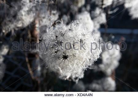 Old Man's Beard or Traveller's Joy (Clematis vitalba) in wintertime - Stock Photo