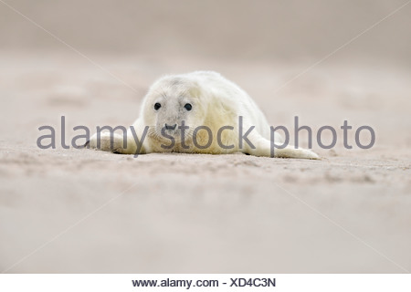 Young gray seal (Halichoerus grypus) on the beach, Düne island, Helgoland, Schleswig-Holstein, Germany - Stock Photo