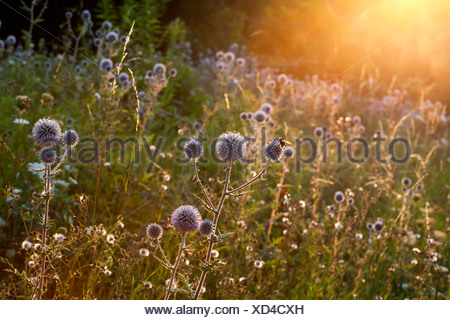 Garden with blossoming thistles (Carduus) at sunlight - Stock Photo