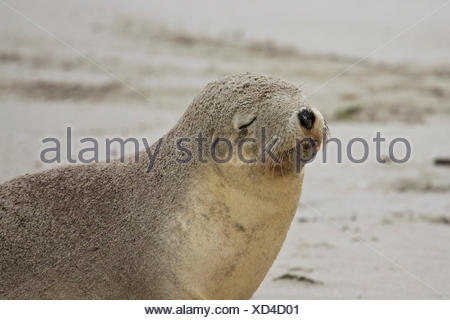 Australian Sea Lion,SA, Kangaroo Island, Australia - Stock Photo