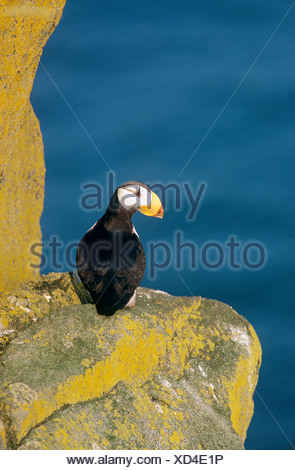 Horned Puffin on a rock / Fratercula corniculata - Stock Photo