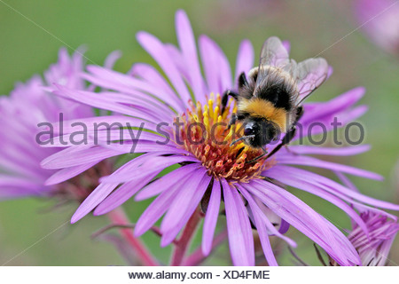 BUFF TAILED BUMBLE BEE - Stock Photo