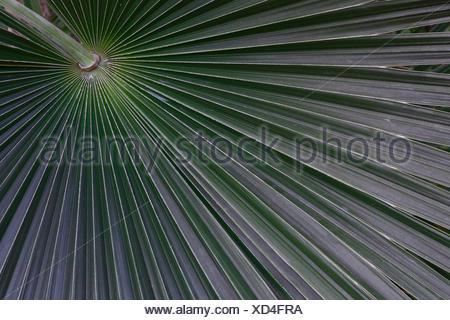 silberweisse Silberpalme ( Coccothrinax argentea, Vorkommen Mittelamerika - Stock Photo