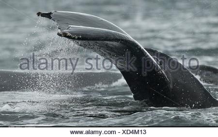 Barnicles on tail of Humpback Whale Petersberg Alaska - Stock Photo