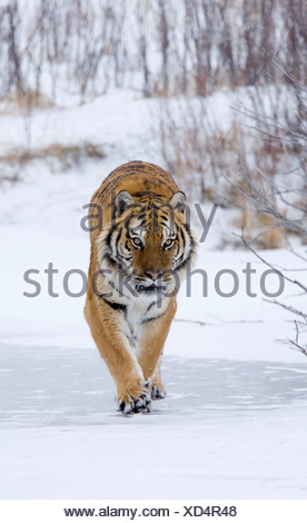 Siberian tiger (Panthera tigris altaica) walking in a snow covered field - Stock Photo