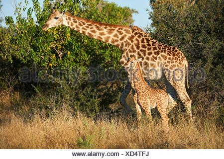 Giraffe female and calf (Giraffa camelopardalis angolensis). Moremi National Park, Okavango Delta, Botswana, Southern Africa. - Stock Photo