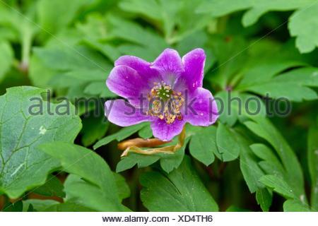 wood anemone (Anemone nemorosa), with violett flowers, Germany - Stock Photo