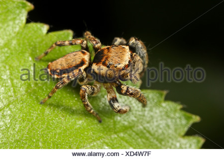Jumping spider (Evarcha falcata), siting on a leaf, male - Stock Photo