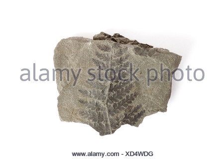 crested wood fern, Pecopteris arborescens, fossil, fossils, rock, primeval times, carbon, stone, geology, fern, - Stock Photo