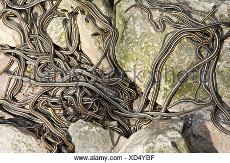 Large group of Red-sided garter snake (Thamnophis)  at Narcisse Snake Dens in Winnipeg, Manitoba, Canada - Stock Photo