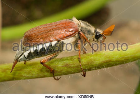 common cockchafer, maybug (Melolontha melolontha), male, Germany - Stock Photo