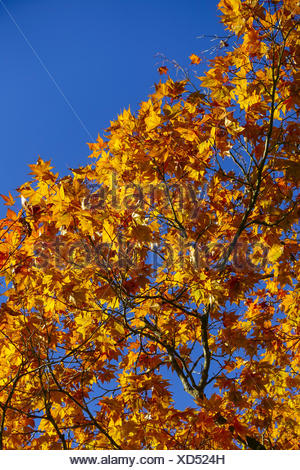 Farbige Blätter eines Ahornbaumes im Herbst vor blauem Himmel, Colored leaves of a maple tree in autumn against blue sky, Acer p - Stock Photo