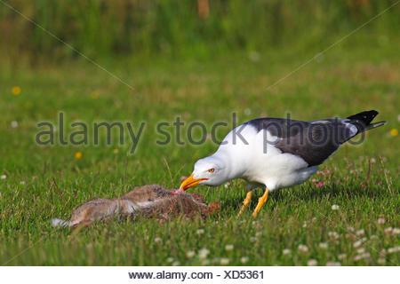 lesser black-backed gull (Larus fuscus), gull feeding from a dead hare, Netherlands, Frisia - Stock Photo