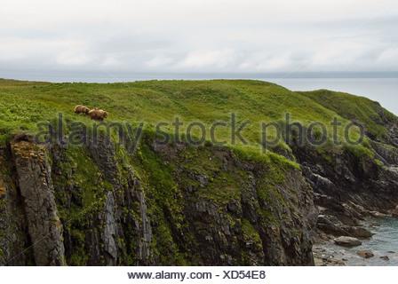 Brown bear sow and cubs eating sedge grasses on cliff above Hallo Bay, Katmai National Park, Alaska, Summer - Stock Photo