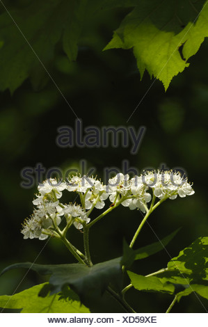 wild service tree (Sorbus torminalis), inflorescence, Germany, Hesse, Kellerwald NP - Stock Photo