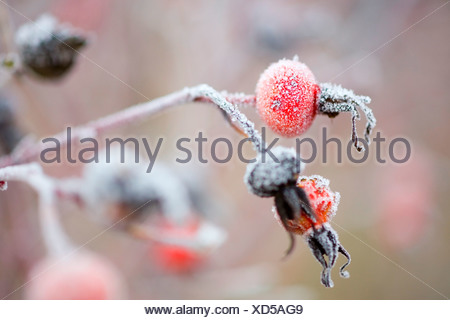 Frost on branch, close up - Stock Photo